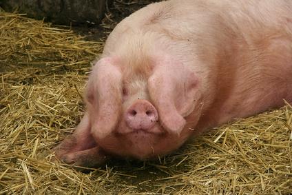 Elevage de porcs la cr ation venir du r gime icpe d 39 enregistrement green law avocat - Comment cuisiner le porc ...