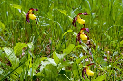 Lady's-slipper orchid (Cypripedium calceolus)