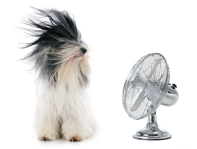 tibetan terrier and fan in front of white background