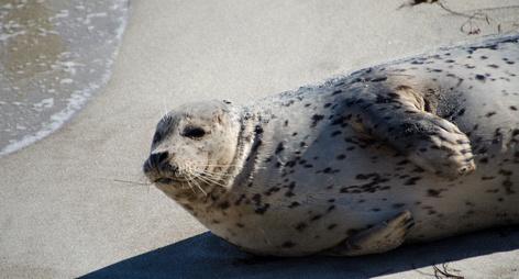 Seals enjoying Christmas sun in La Jolla at childrens pool